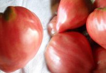 Отзывы о сорте томатов Бычье сердце