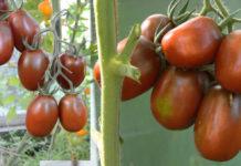 Отзывы о преимуществах и недостатках сорта помидор Черный мавр