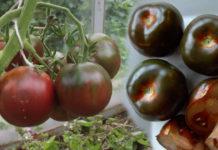Характеристика сорта томатов Черный принц