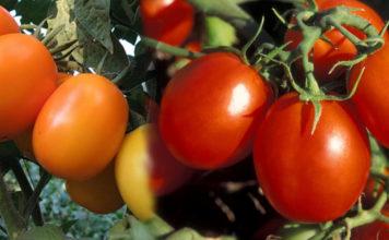 Отзывы о плюсах и минусах сорта помидор Де Барао