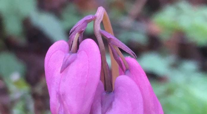 Дицентра красивая (D. formosa)
