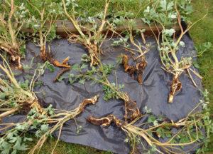 Размножение дицентры делением корневища