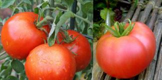 Рейтинг томата сорта Хлебосольный
