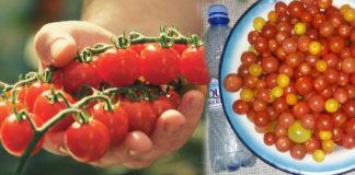 Реальные отзывы о сорте томатов Клюква в сахаре