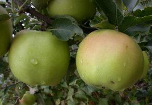 Преимущества и недостатки яблони сорта Соколовское