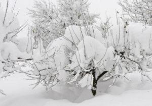 Как в регионах России зимует яблоня Соколовская