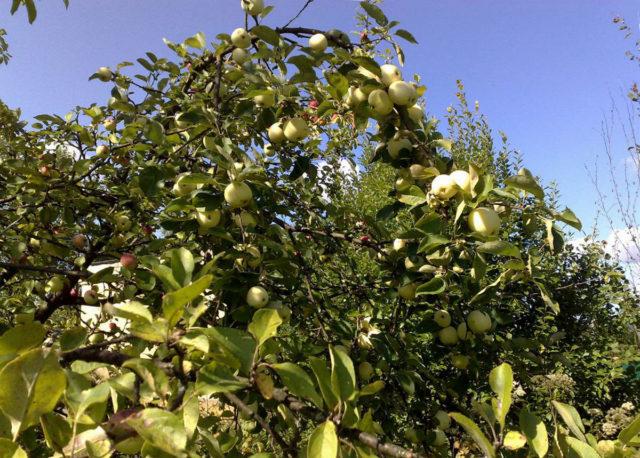 Отзывы о яблони сорта Соколовское