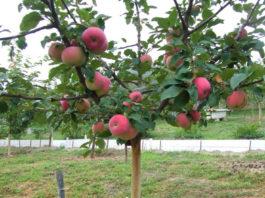 Описание внешнего вида яблони Соколовское