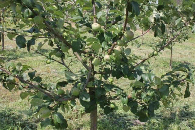 Фото яблони Соколовское в саду