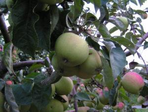 Плюсы и минусы сорта яблонь Соколовское