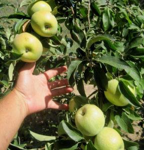 Урожай яблок сорта Соколовское