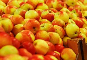 Урожай и сроки плодоношения яблони Соколовское