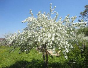 Когда цветет сорт Соколовское