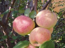 Урожай яблок сорта Солнышко