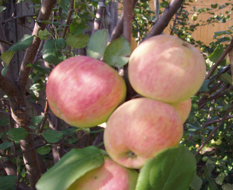 Фото сорта яблок суйслепское
