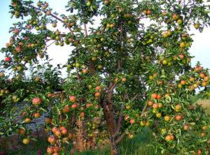 Фото яблони сорта Жигулевское в саду