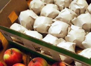 Условия хранения яблок сорта Жигулевское