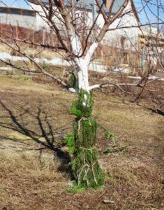 Как зимует яблоня сорта Жигулевское