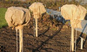 Как укрыть на зиму яблоню Жигулевскую