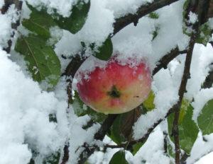 Яблоки Жигулевское зимой