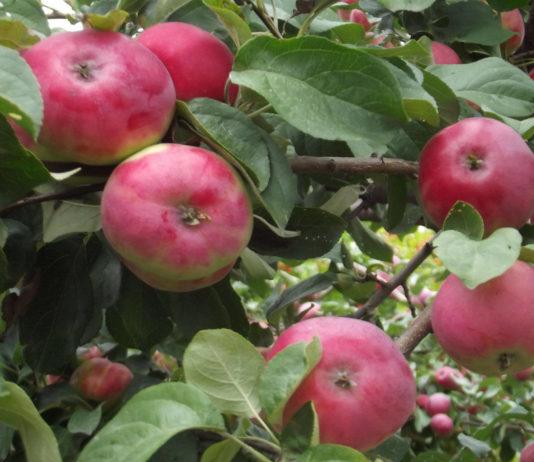 Преимущества и недостатки сорта яблони Жигулевское