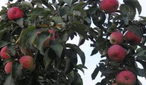 Описание внешнего вида яблони Жигулевское