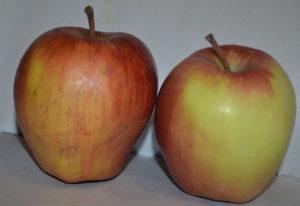 Рейтинг сорта яблони Жигулевское