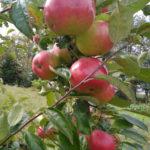 Отзывы о плюсах и минусах яблони сорта Жигулевское