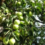 Рейтинг карликовой яблони Жигулевское