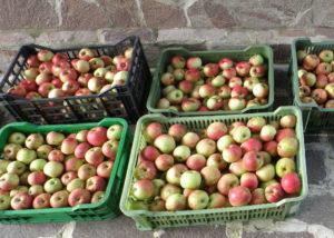 Как получить максимальный урожай яблок Жигулевское