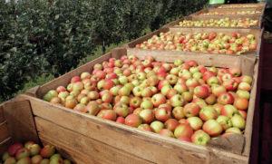 Когда начнет плодоносить яблоня Жигулевская