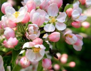 Цветок на ветке яблони Жигулевское
