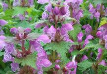 Агротехника выращивания яснотки в открытом грунте