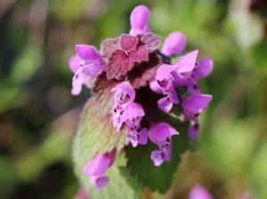 Яснотка пурпурная, или пурпуровая (L. purpureum)