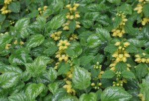 Яснотка зеленчуковая, или желтая (L. galeobdolon)
