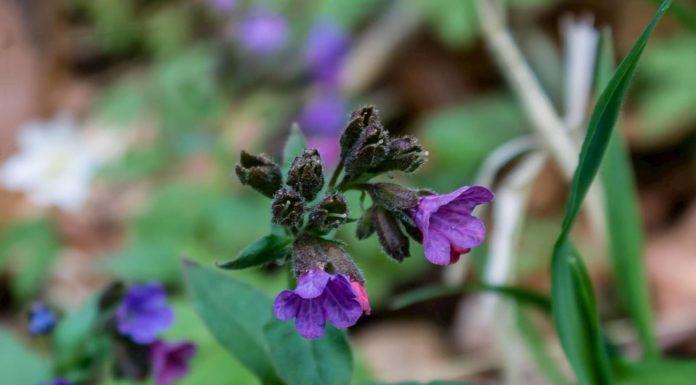 Медуница лекарственная (P. officinalis)