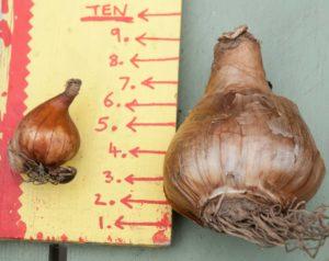 Правила выбора здоровой луковицы нарцисс
