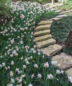 Нарциссы возле садовой дорожки