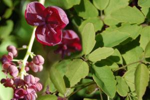 Выращивание акебии в саду на даче