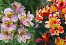 Альстрёмерия, Альстромерия клубневое растение